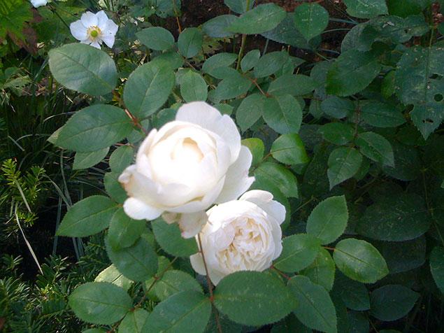lykkans-tradgardsdesign-rosor